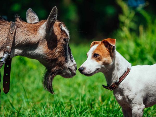 dê và chó
